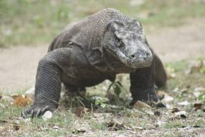 Explore Komodo dragon