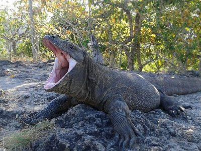 Komodo dragon Rinca tour